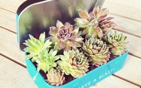 DIY Altoid Tin Mini Garden at Life on the Balcony